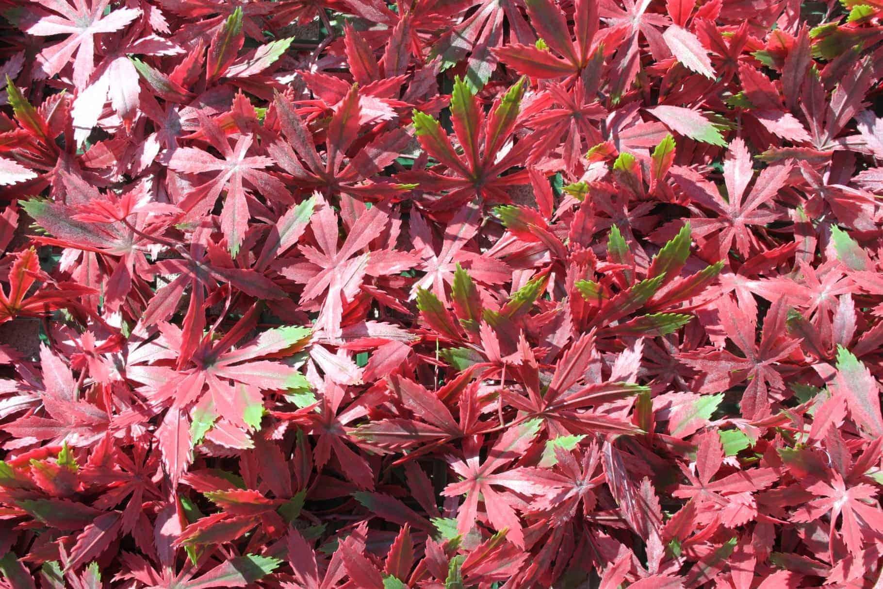 Wonderwal Artificial Hedge Screening Tile Red Acer
