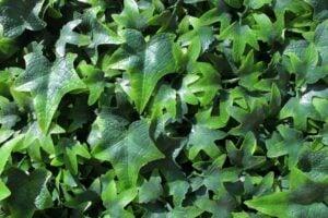 WonderWal Artificial Hedge Screening Tile  English Ivy