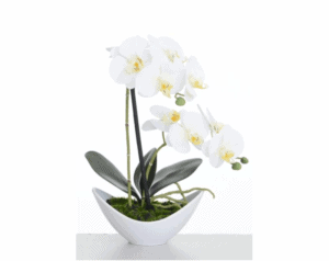 Potted Cream Orchid 43 & 56cm *COLLECTION ONLY*